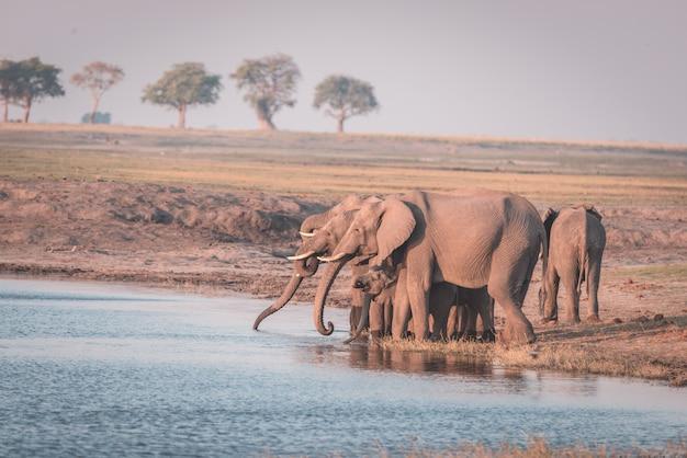 Groupe d'éléphants d'afrique buvant de l'eau de la rivière chobe au coucher du soleil.