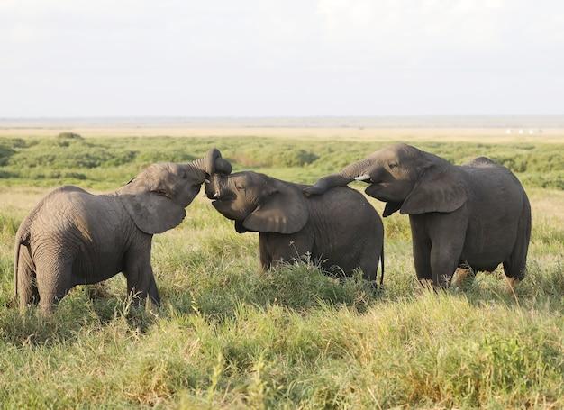 Groupe d'éléphants dans le parc national d'amboseli, kenya, afrique