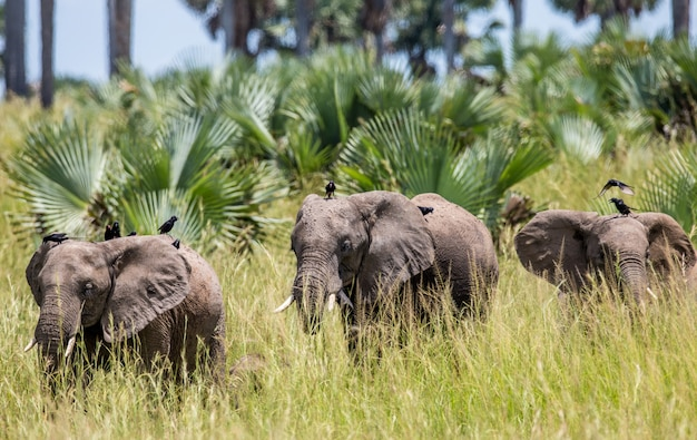 Groupe d'éléphants marchent le long de l'herbe avec des oiseaux sur le dos dans le parc national de merchinson falls
