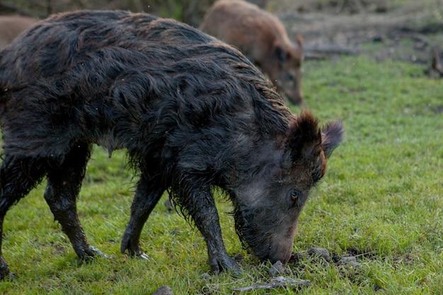 Groupe familial de porcs verrues broutant manger de l'herbe ensemble.