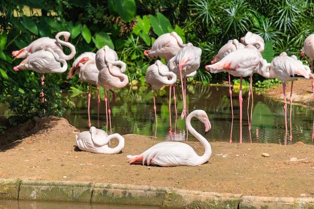 Groupe de flamants blancs debout et couché dans un étang
