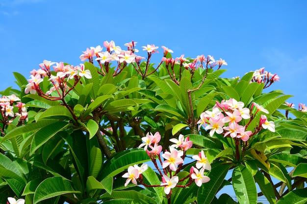 Groupe de fleur de plumeria rose sur fond de feuille arbre branche