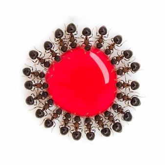 Groupe de fourmis mangeant de l'eau sucrée rouge