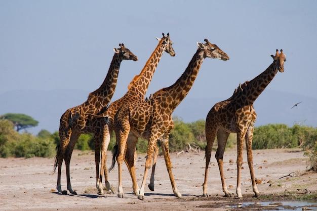Groupe de girafes à l'arrosage.