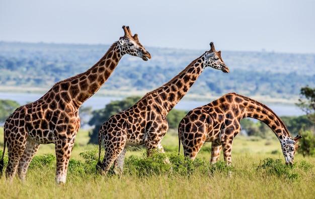 Groupe de girafes dans le parc national de murchinson falls.