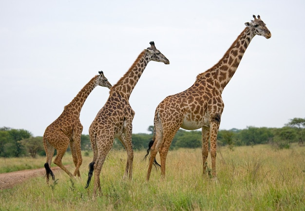 Groupe de girafes dans la savane.
