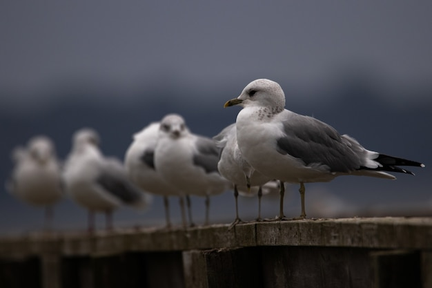 Un groupe de goélands hartlaubs se refroidissant sur une planche
