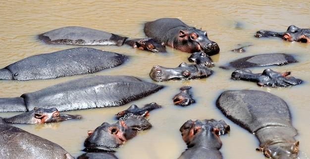 Groupe d'hippopotames (hippopotamus amphibius) dans l'eau, afrique australe