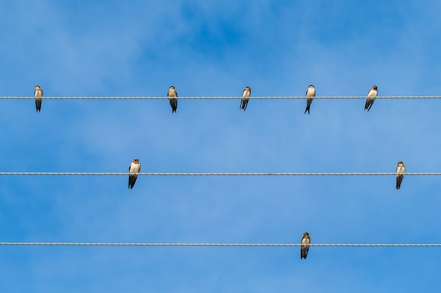 Un groupe d'hirondelles en migration assises sur des fils électriques.