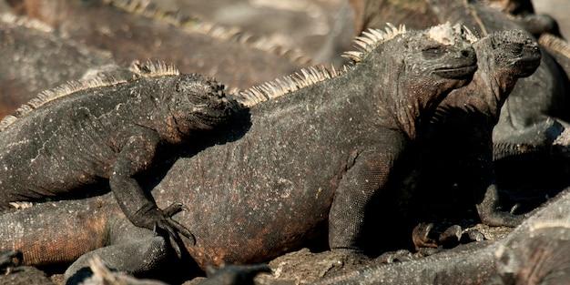 Groupe d'iguanes marins (amblyrhynchus cristatus), punta espinoza, île fernandina, îles galapagos, équateur