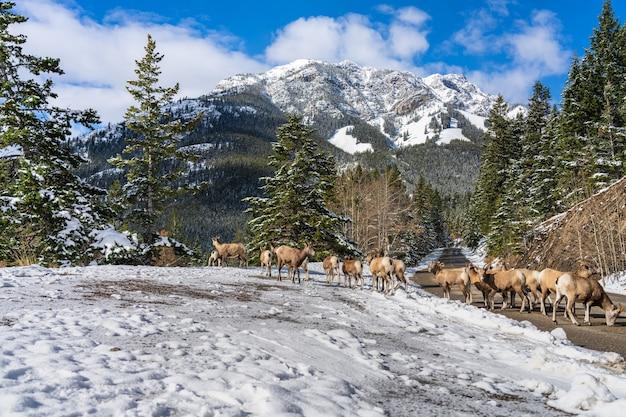 Groupe de jeunes mouflons d'amérique sur la route de montagne enneigée mount norquay scenic drive banff canada