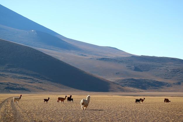 Groupe de lama aux pieds des andes, l'altiplano bolivien, amérique du sud