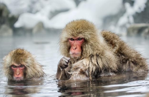 Groupe de macaques japonais sont assis dans l'eau dans une source chaude. japon. nagano. parc des singes de jigokudani.