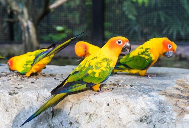 Groupe de mini perroquet coloré mangeant sur un rocher.