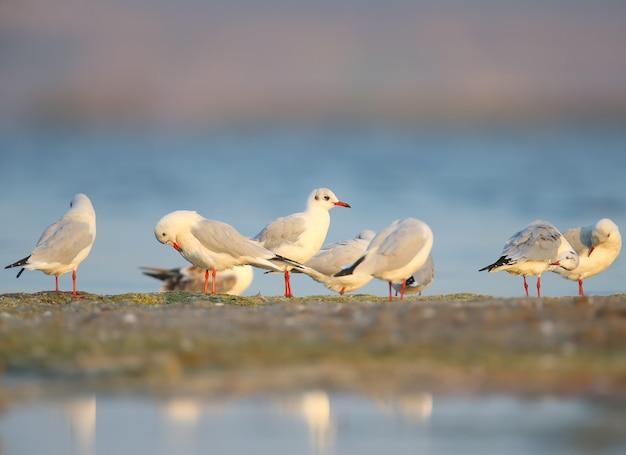 Le groupe de mouettes rieuses (chroicocephalus ridibundus) nettoie le plumage sur la rive sablonneuse de l'estuaire. lumière douce du matin et photos en couleur