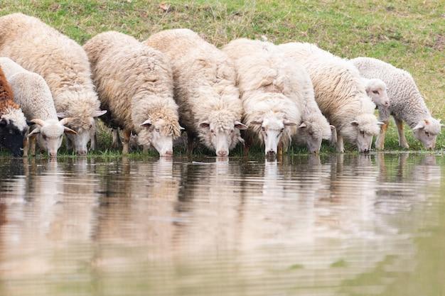 Un groupe de moutons boit l'eau d'un lac.