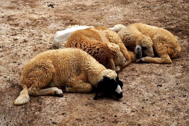 Groupe de moutons dormant dans une ferme d'animaux