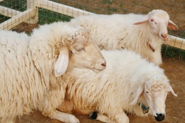Groupe de moutons