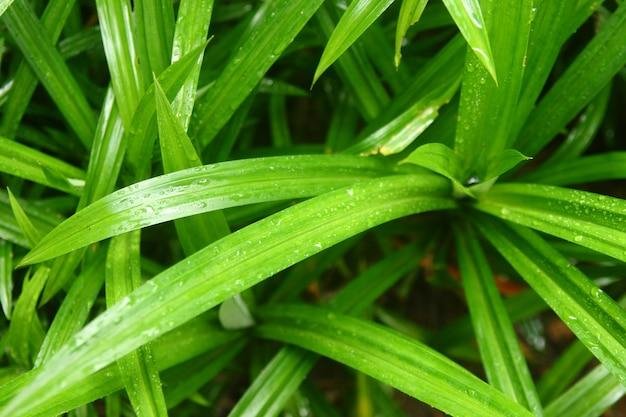 Groupe de pandanier ayant de l'eau de pluie tombée sur les feuilles ont l'air fraîches
