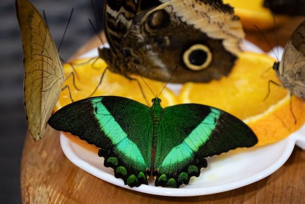 Groupe de papillons assis sur une tranche d'orange mangeant du nectar