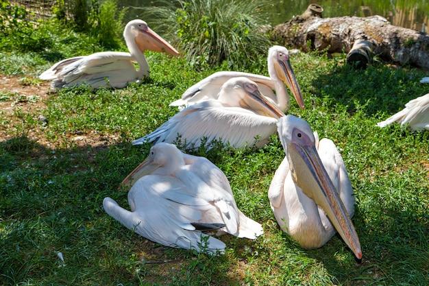 Groupe de pélicans blancs sur l'herbe. pelecanus onocrotalus