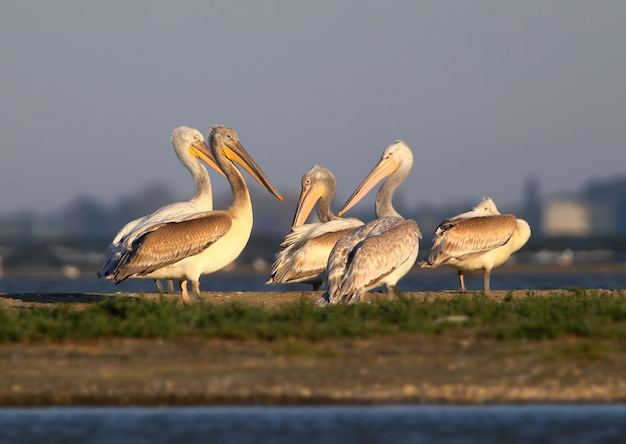 Un groupe de pélicans blancs reste sur la lumière du soleil du matin dans le delta du danube