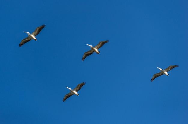 Groupe de pélicans volant contre le ciel. concept d'animaux sauvages