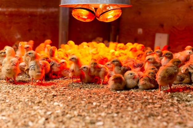 Groupe de petit poulet jaune dans une lumière chaude