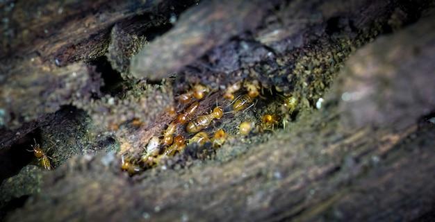 Groupe des petits termites les termites sont des créatures sociales qui endommagent les maisons en bois des peuples parce