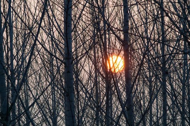 Groupe de peupliers au coucher du soleil