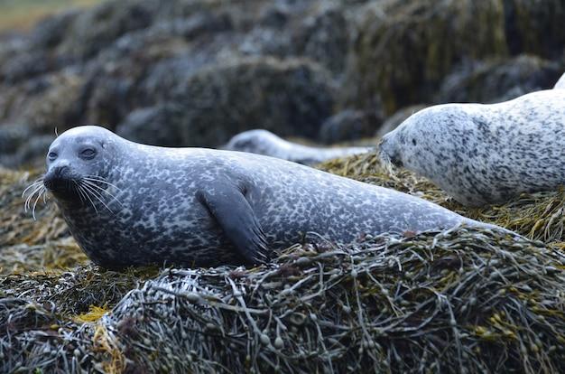 Groupe de phoques tous sortis sur un récif couvert d'algues.