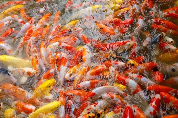 Groupe de poissons carpes dans l'eau
