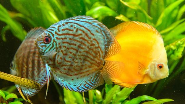 Groupe de poissons discus (symphysodon aequifasciatus) devant des plantes vertes.