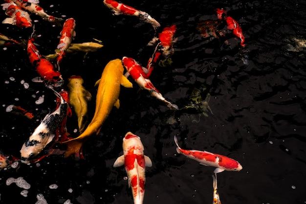 Un groupe de poissons koi flottant dans un étang avec de l'eau sur fond noir