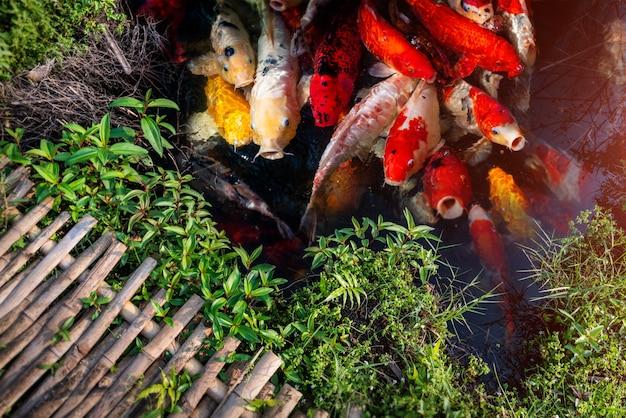 Groupe de poissons koi nageant.
