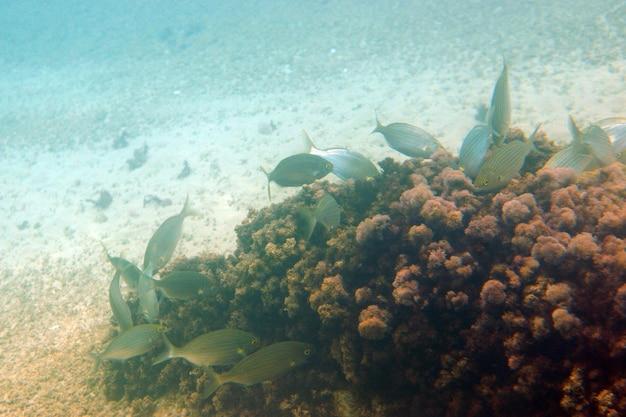 Groupe de poissons près d'une île d'algues.
