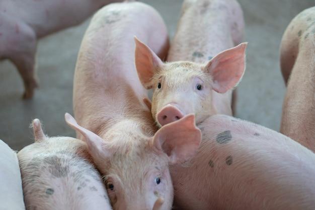 Groupe de porc qui semble sain dans une ferme porcine locale au bétail.