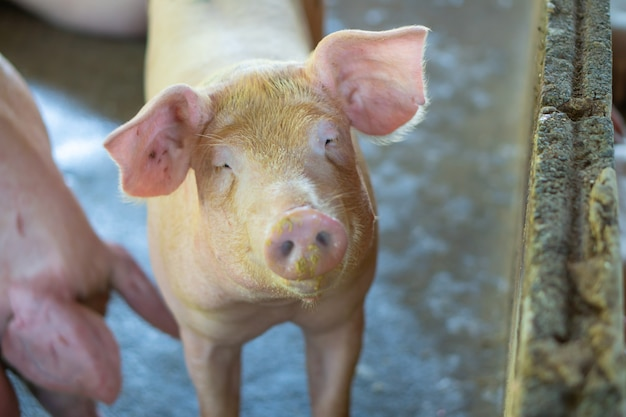 Groupe de porcs qui semble en bonne santé dans l'élevage porcin de l'asean local.