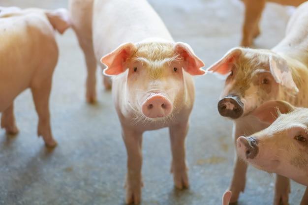 Groupe de porcs qui semble en bonne santé dans l'élevage de porcs local de l'asean.