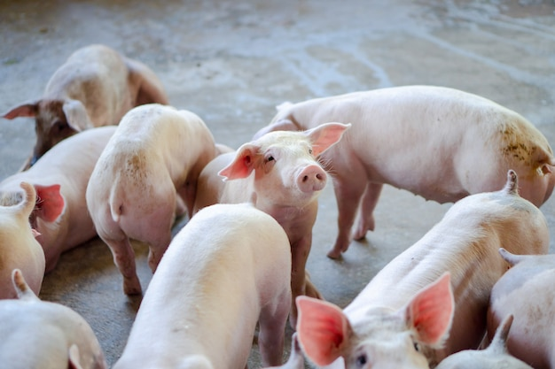 Groupe de porcs qui semble sain dans une ferme porcine locale de l'anase au bétail.