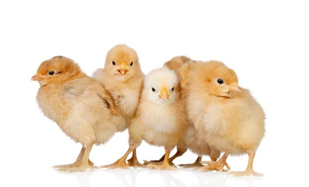 Groupe de poules jaunes