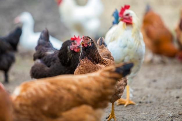 Groupe de poules rouges et noires en bonne santé et grand coq blanc marchant en plein air en se nourrissant de poulailler par une belle journée ensoleillée. élevage de poulets, concept de production de viande et d'œufs en bonne santé.