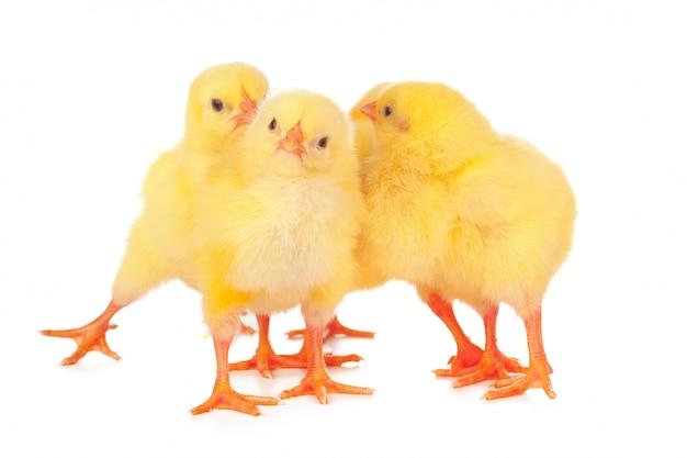 Groupe de poulets isolés