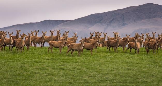 Groupe de rennes sauvage debout sur une colline en nouvelle-zélande