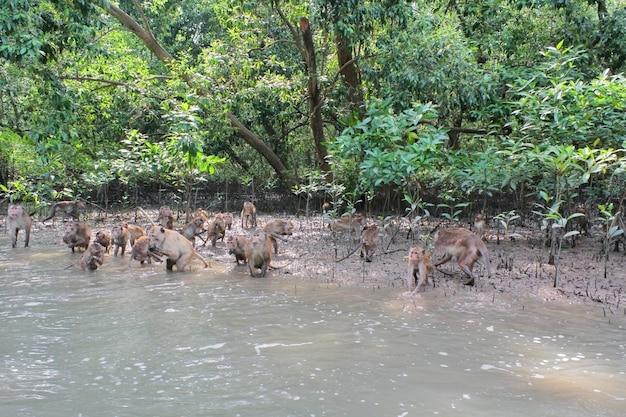 Un groupe de singes macaques toque attendent pour nourrir la forêt de mangroves en thaïlande