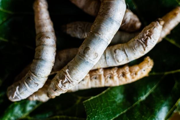 Groupe de têtes de vers à soie, bombyx mori, mangeant des feuilles de mûrier avec leurs dents acérées.