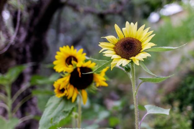 Un groupe de tournesols dans un jardin privé