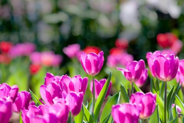 Groupe de tulipe rose