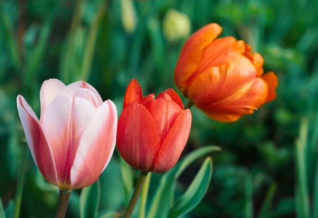 Groupe de tulipes colorées dans le jardin au printemps. shallow dof.