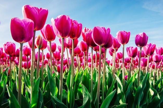 Groupe de tulipes roses contre le ciel. saison de printemps.